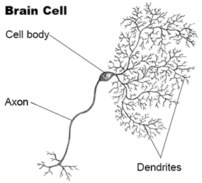 dendrite pruning leads to brains shrinkage
